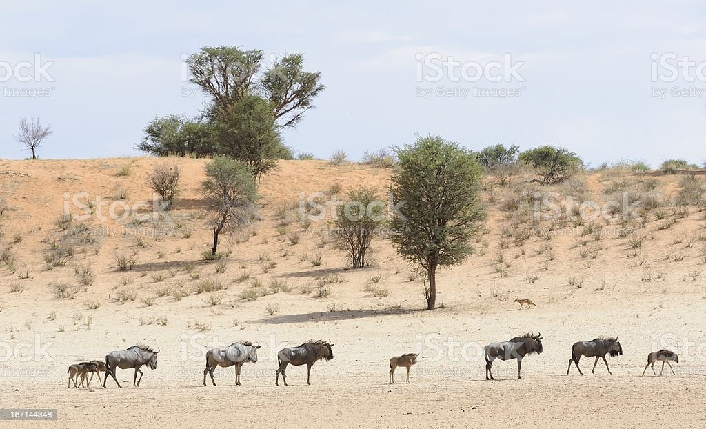 Wildebeest on the move stock photo
