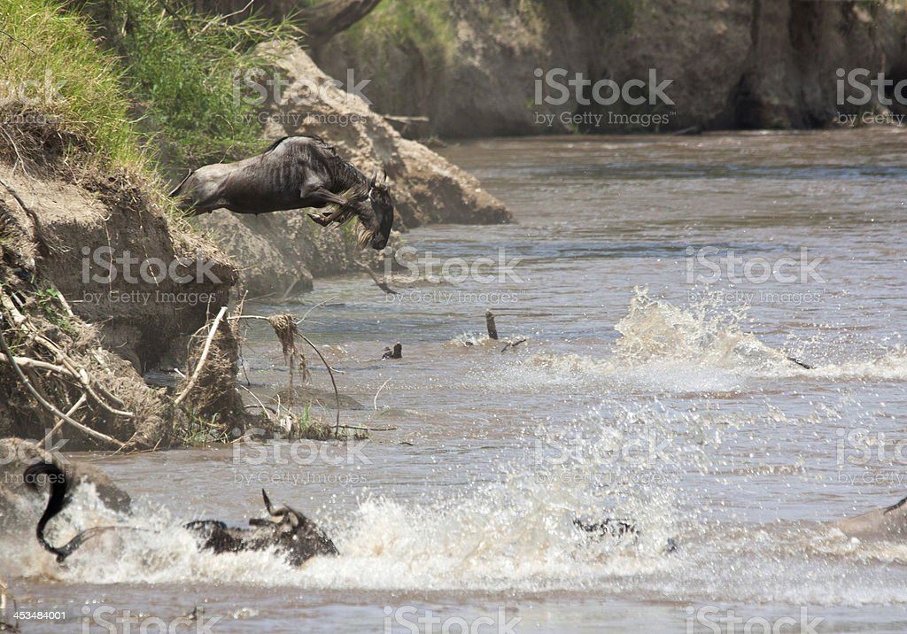 Wildebeest river crossing royalty-free stock photo