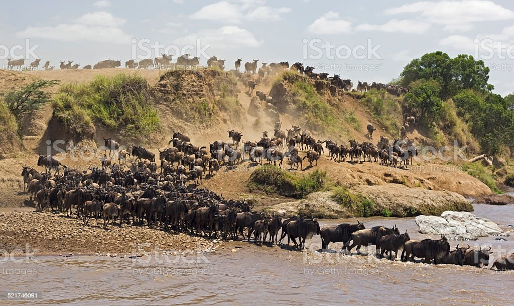 Wildebeest river crossing stock photo