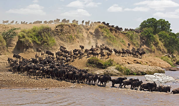 Wildebeest river crossing Wide angle of a relaxed crossing of the mara river during the great wildebeest migration - Masai Mara, Kenya masai mara national reserve stock pictures, royalty-free photos & images