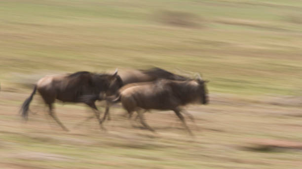 Wildebeest running in the Masai Mara, Kenya Wildebeest in the Masai Mara, Kenya, Africa wildebeest running stock pictures, royalty-free photos & images