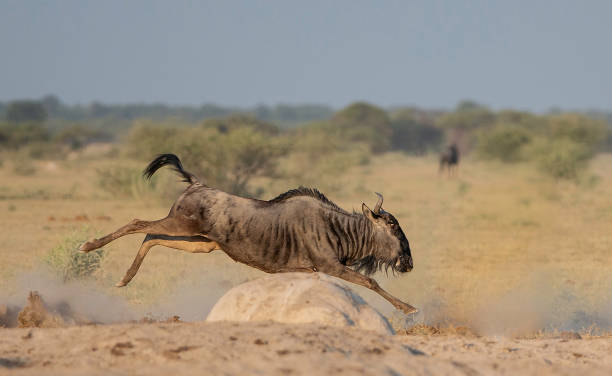 Wildebeest running this wildebeest was chasing another wildebeest wildebeest running stock pictures, royalty-free photos & images