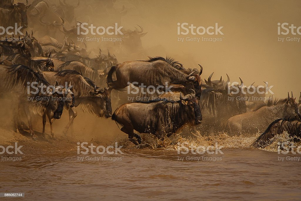 Wildebeest Stampede stock photo