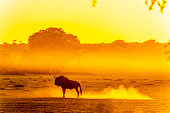 A blue wildebeest or gnu walking in the Ayoub river bed in the Kalahari desert at dawn.