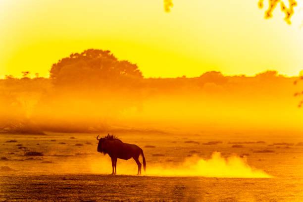 Gnus stehend in staubigen Kalahari-Dämmerung – Foto
