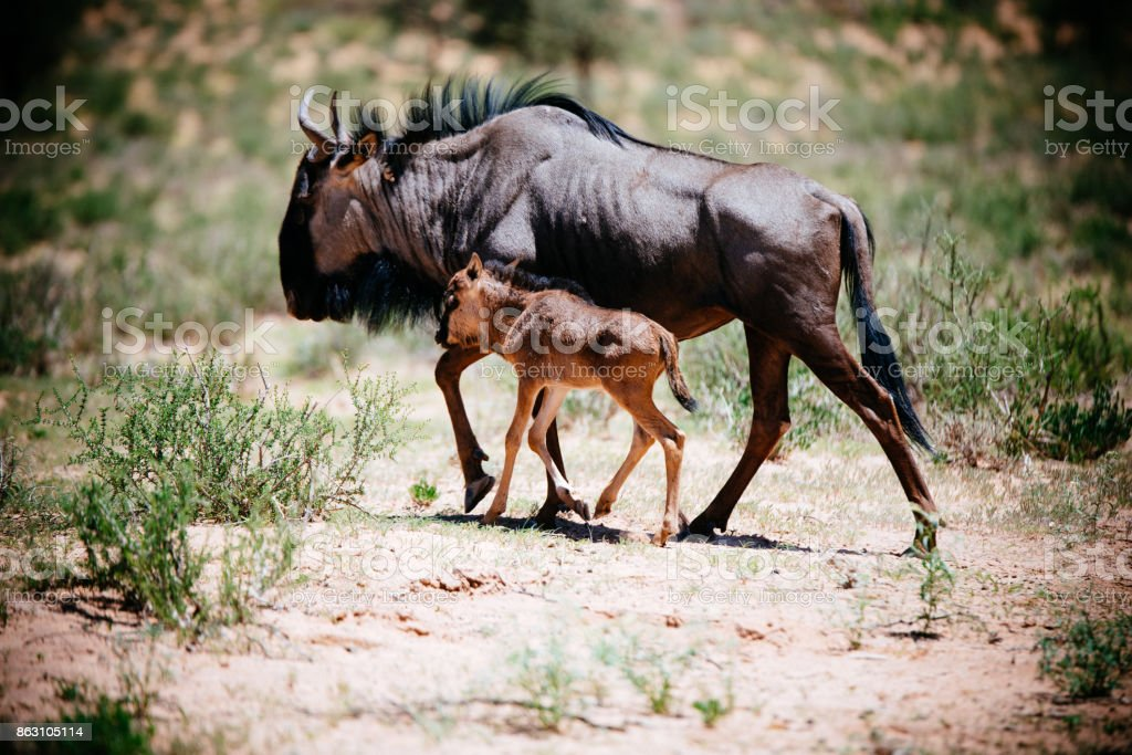 Wildebeest with calf stock photo