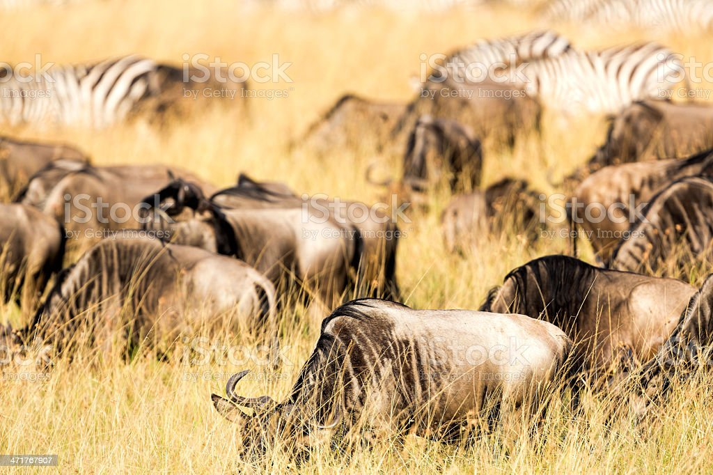 Wildebeests and Zebras - feeding royalty-free stock photo