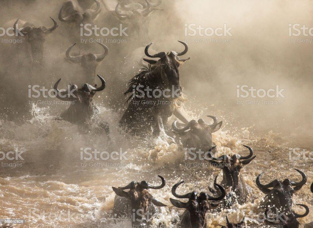 Wildebeests are crossing Mara river. stock photo