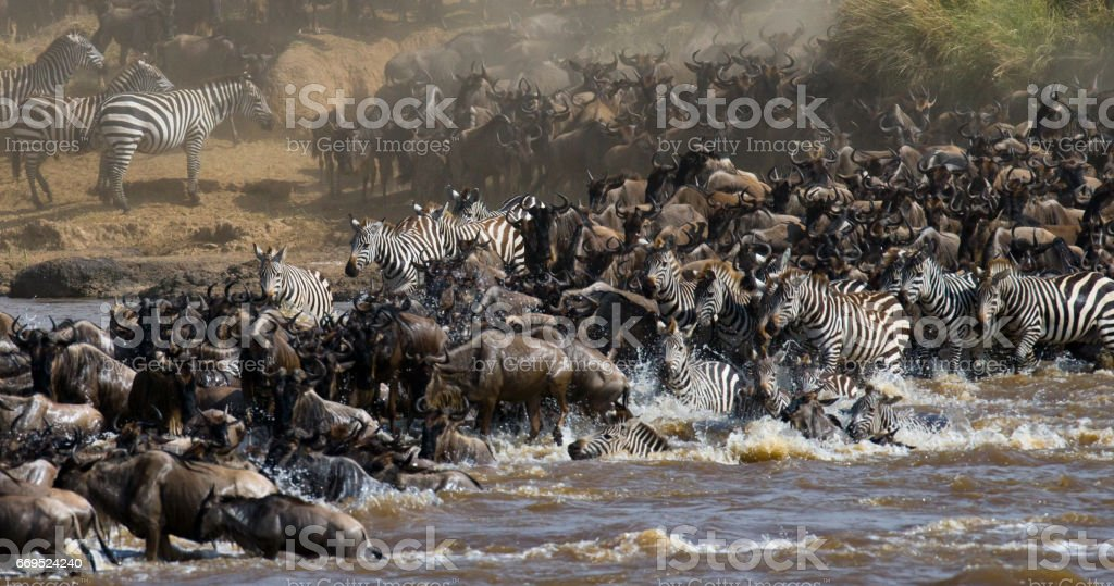 Wildebeests are crossing Mara river. stock photo