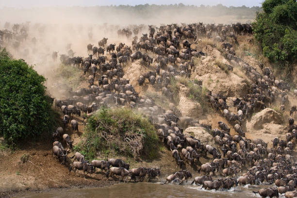 Wildebeests are runing to the Mara river. Wildebeests are runing to the Mara river. Great Migration. Kenya. Tanzania. Masai Mara National Park. An excellent illustration. masai mara national reserve stock pictures, royalty-free photos & images