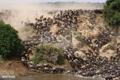 Wildebeests Are Runing To The Mara River Stock Photo & More Pictures of Africa