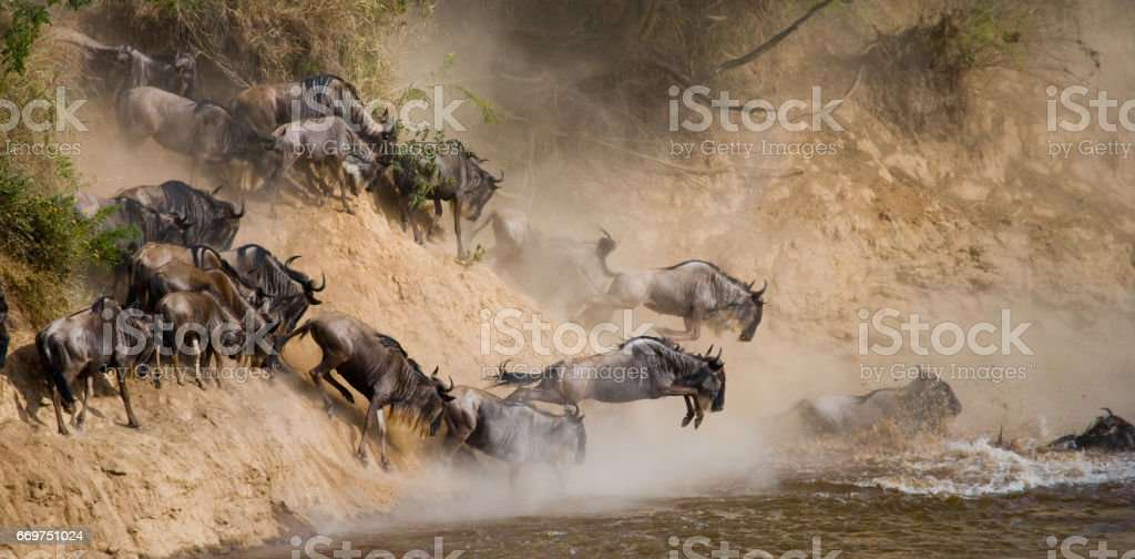 Wildebeests are runing to the Mara river. stock photo