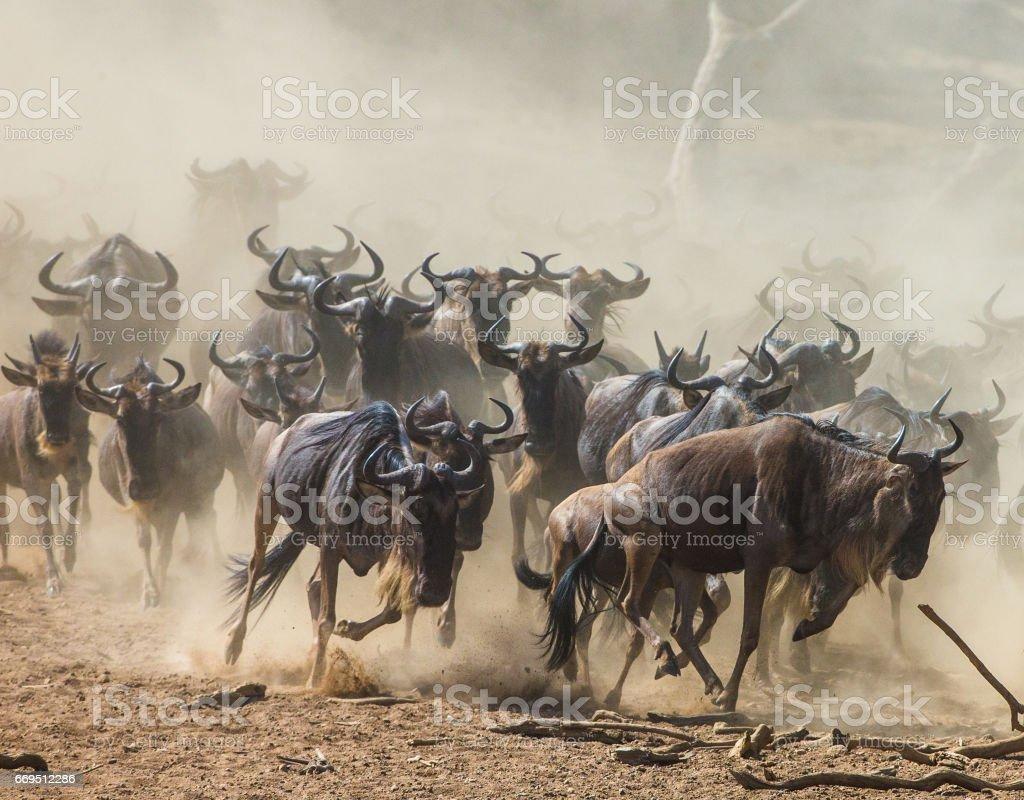 Wildebeests running through the savannah. stock photo