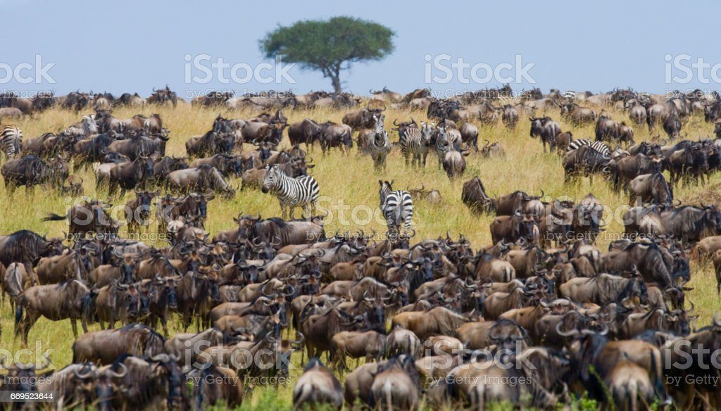 Wildebeests standing in the savannah. stock photo