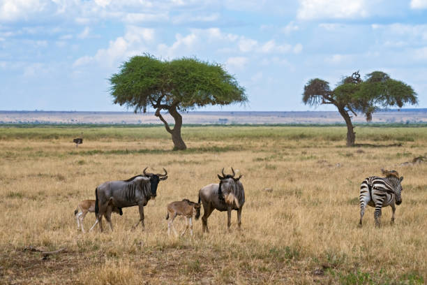 Wildebeests with calfs and zebra stock photo