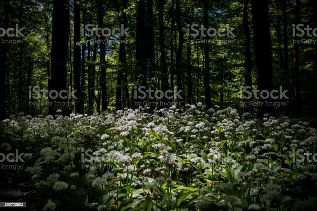 Wilder Bärlauch Im Wald (Nationalpark Hainich) – Foto