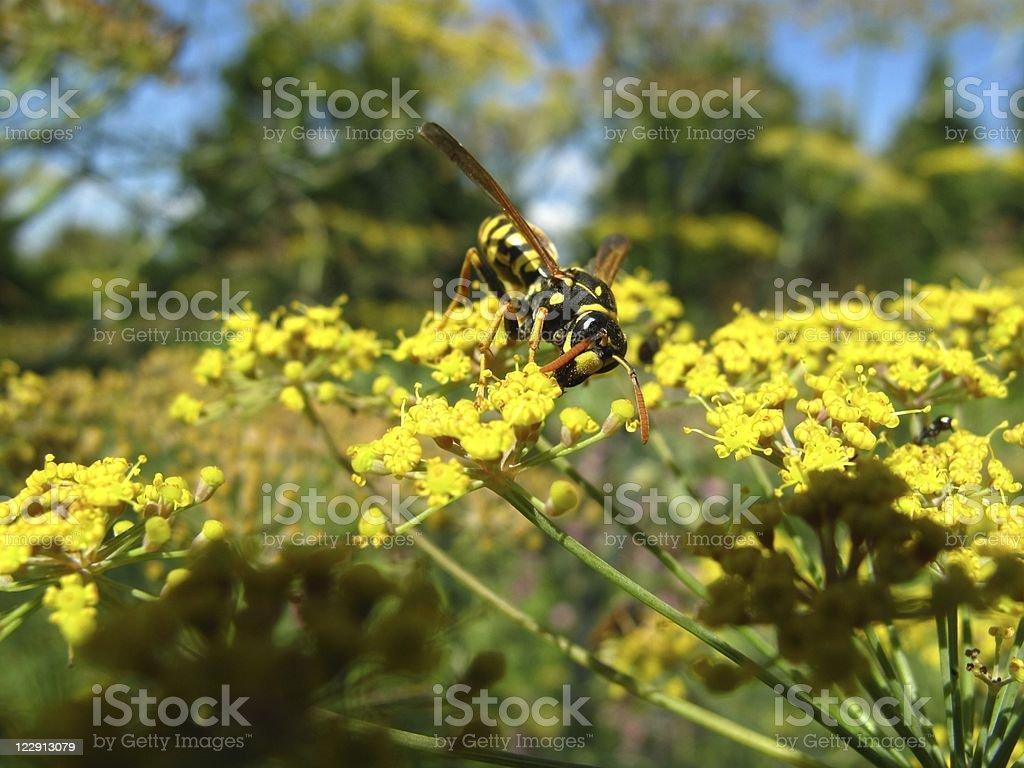 Wilder Fenchel - 'Foeniculum vulgare' and bee royalty-free stock photo
