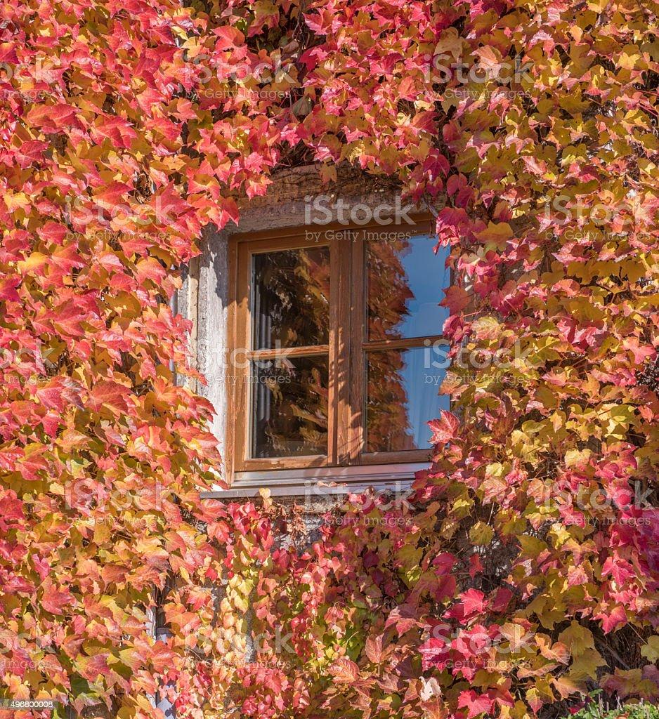 Wilder Wein, Ivy growing around a Window stock photo