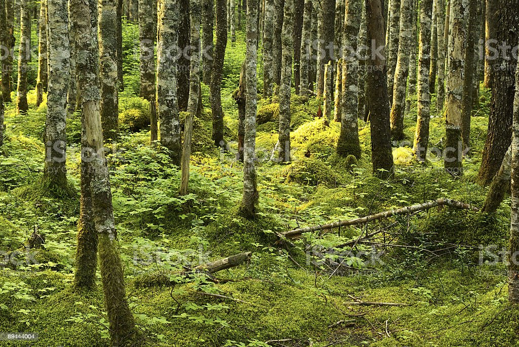 Wilderness forest royalty-free stock photo