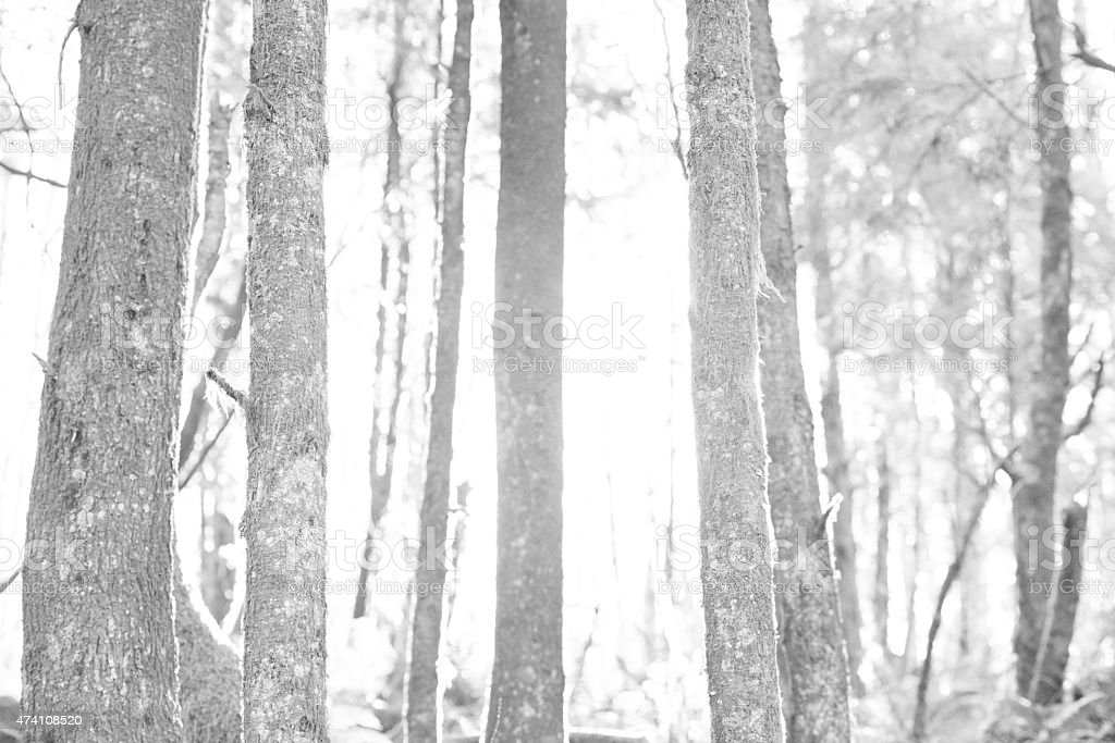 Wilderness black and white wilderness in the afternoon with grain added.  2015 Stock Photo