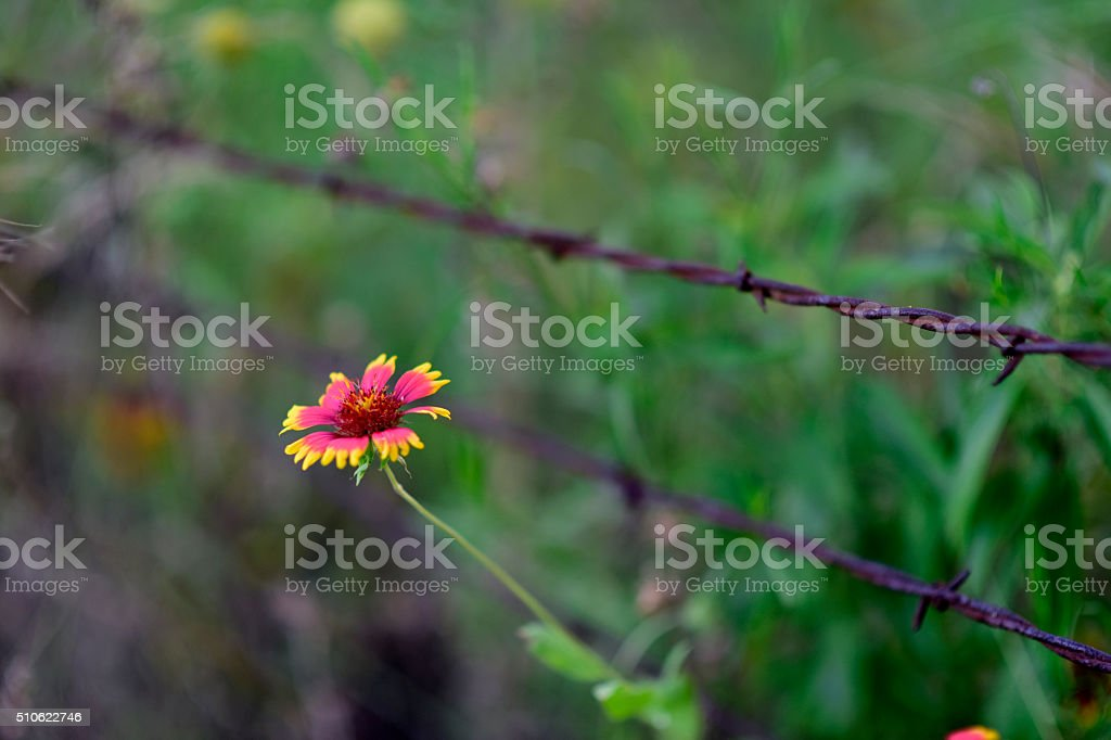 Wildflower and barbed wire stock photo