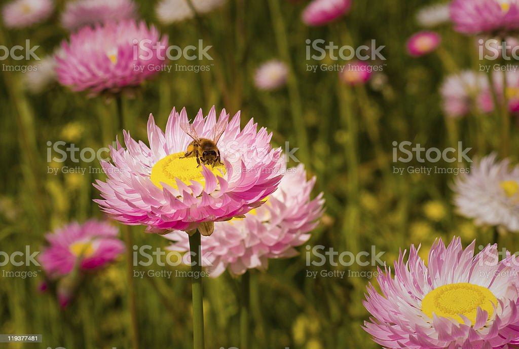 Wildflower and Bee royalty-free stock photo
