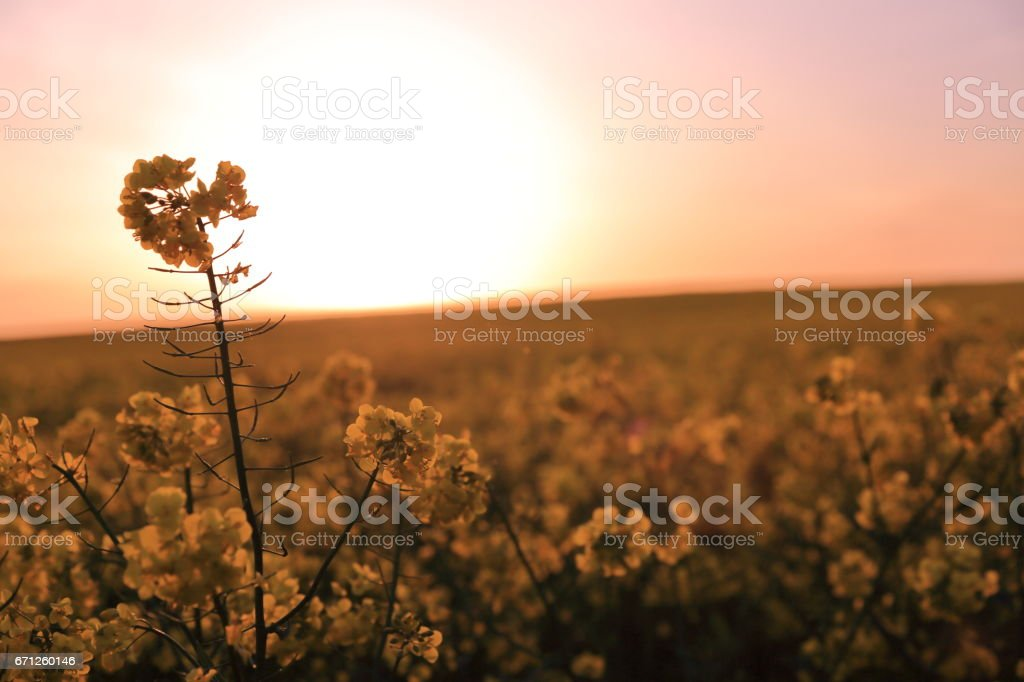 Wildflower at sunset stock photo