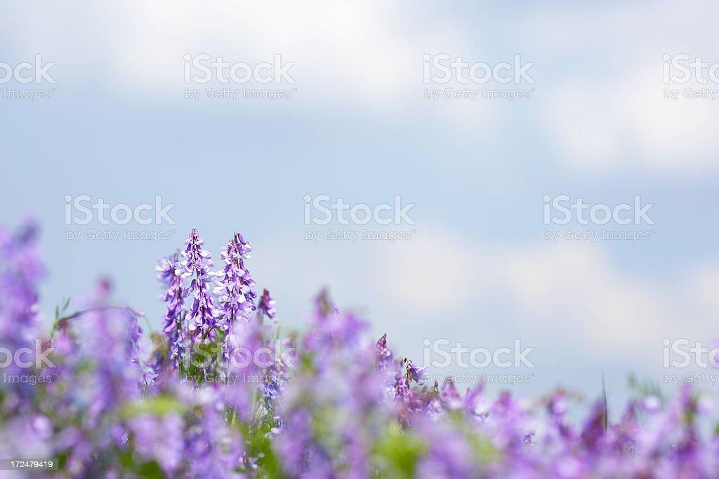 Wildflower Background royalty-free stock photo