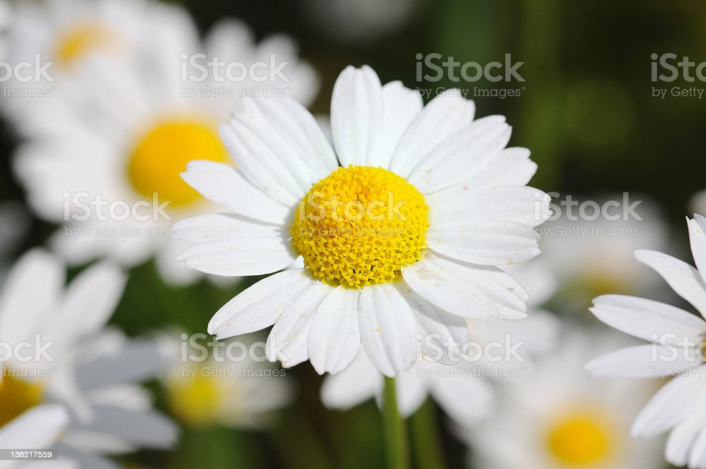 wildflower Camomile - Echte Kamille (Matricaria chamomilla) royalty-free stock photo