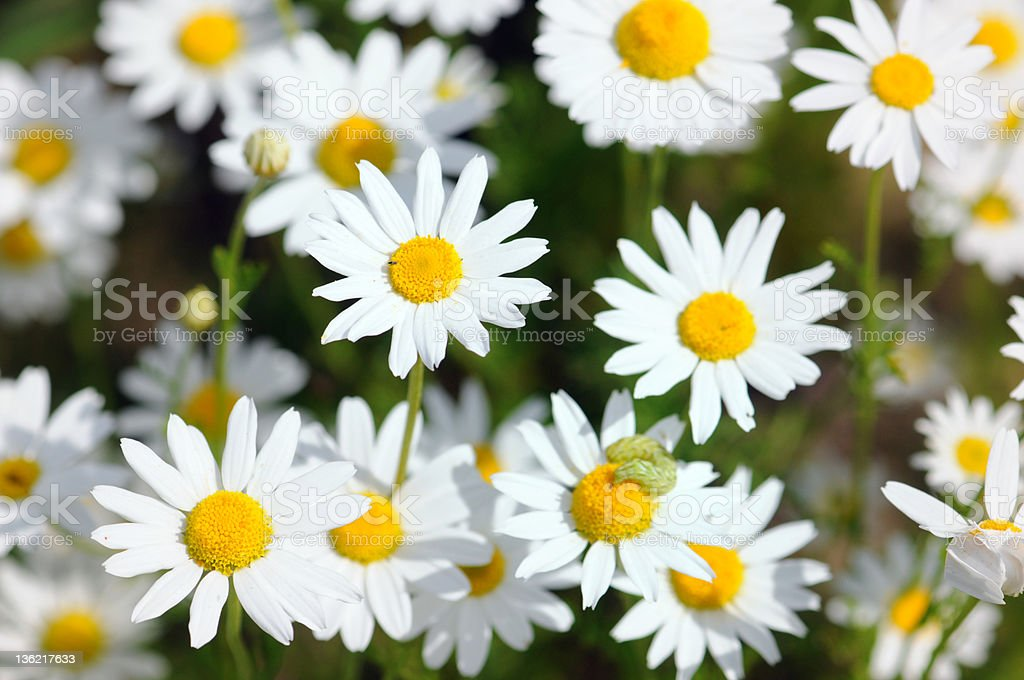 wildflower Camomile - Echte Kamille (Matricaria chamomilla) stock photo