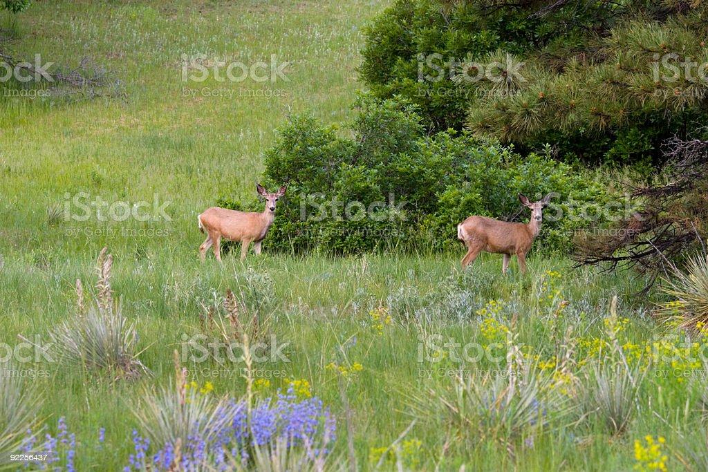 Wildflower Deer royalty-free stock photo