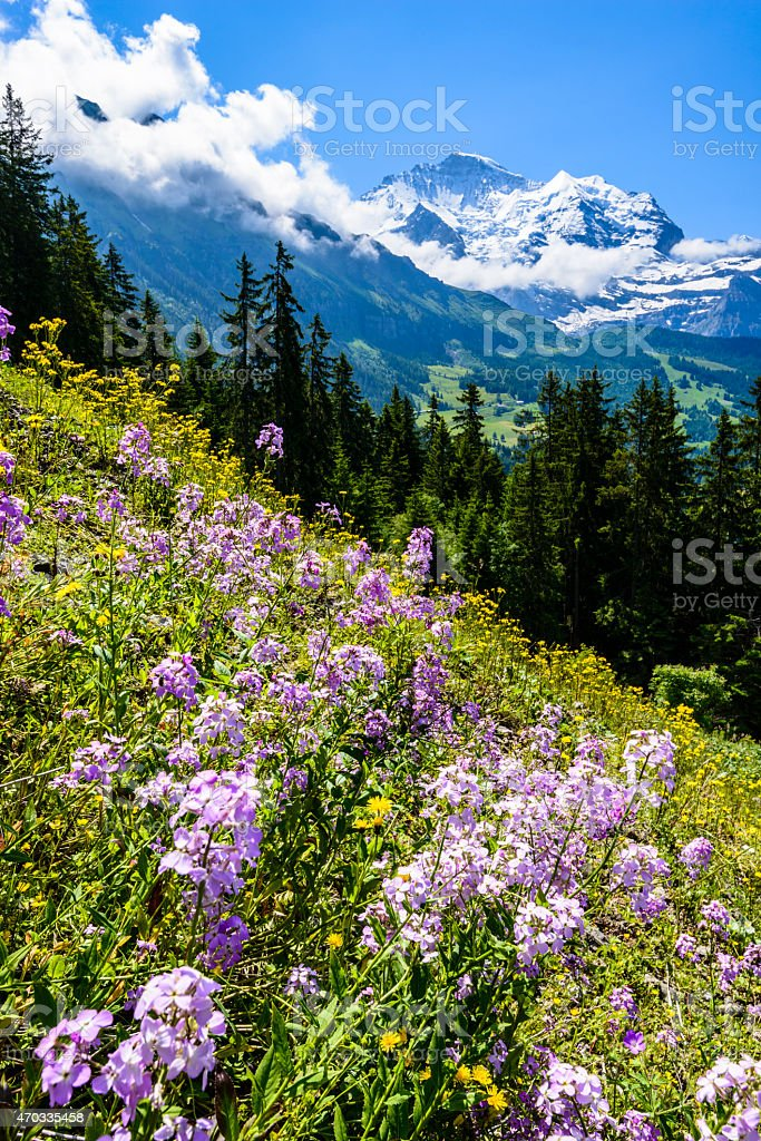 XXXL: Wildflower field with snowcapped mountains in the background stock photo