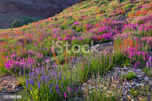 Wildflowers are abundant along the highway near Telluride, Colorado.