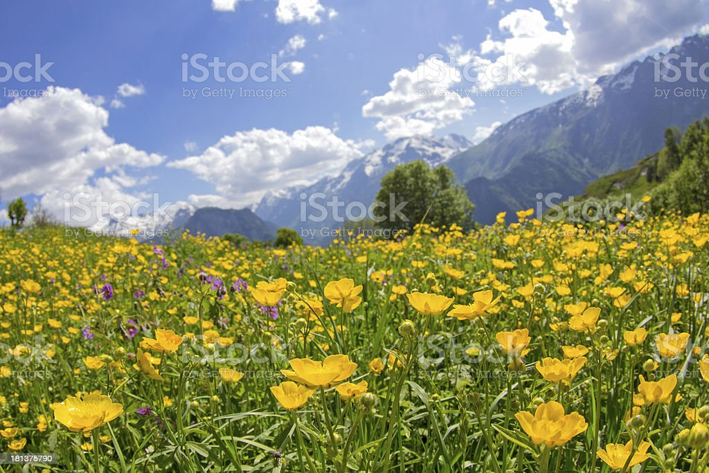 Wildflower in mountain meadow. French Alp. stock photo