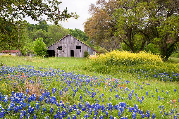 wildflower landscape - bluebonnet stock photos and pictures