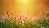 Wildflower meadow background in warm sunlight