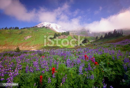 A field full of Wildflowers with Mt. Rainier in the background. Mount Rainier National Park, Washington.