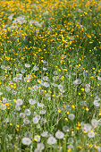 Wildflower meadow with dandelion blowballs and buttercups (Ranunculus)