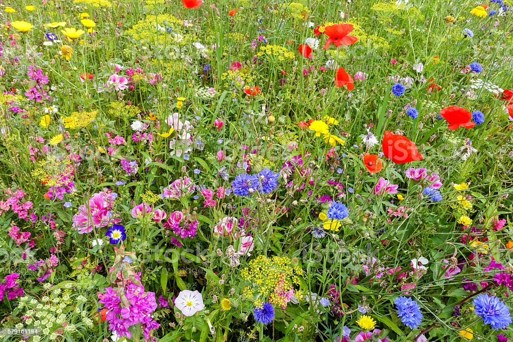 Wildflower Meadow with Poppies stock photo