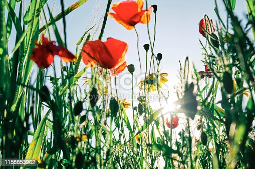 istock Wildflower meadows with Poppies and Corn Marigolds at Crantock, Newquay, backlit in summer evening sunshine. 1158853962