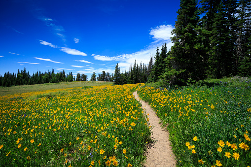 A hiking trail leads through a wildflower meadow at Cedar Breaks National Monument, nearby Cedar City, Utah.
