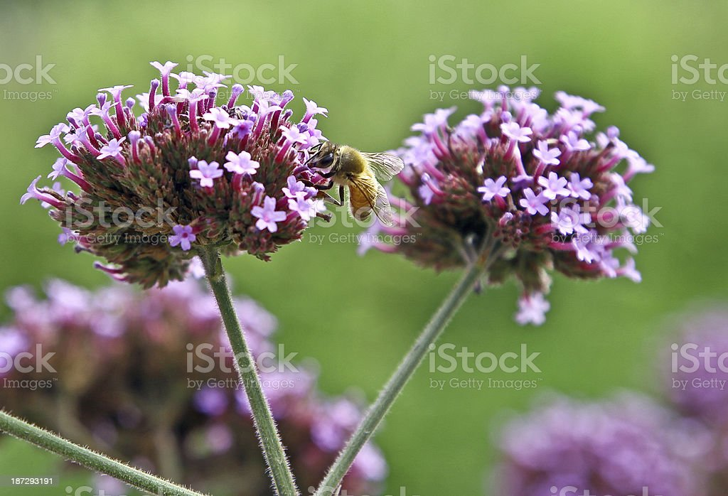 Wildflower with Bee stock photo