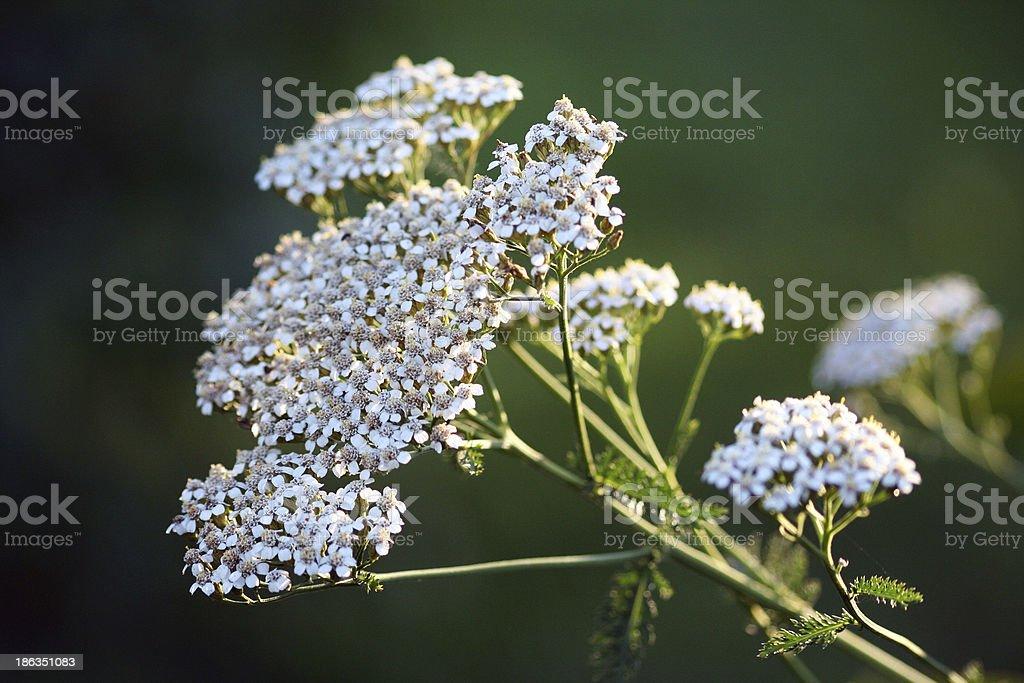 Wildflower - Yarrow (Achillea millefolium) stock photo