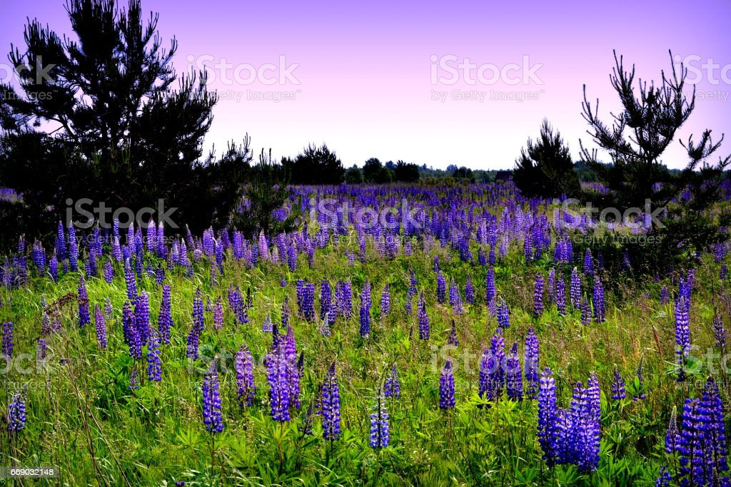 Wildflowers - a whole meadow of lupines. stock photo