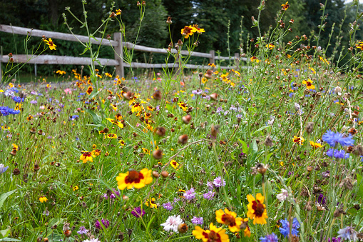 A field of assorted wildflowers in the rolling hills of Ronks, Pennsylvania, USA