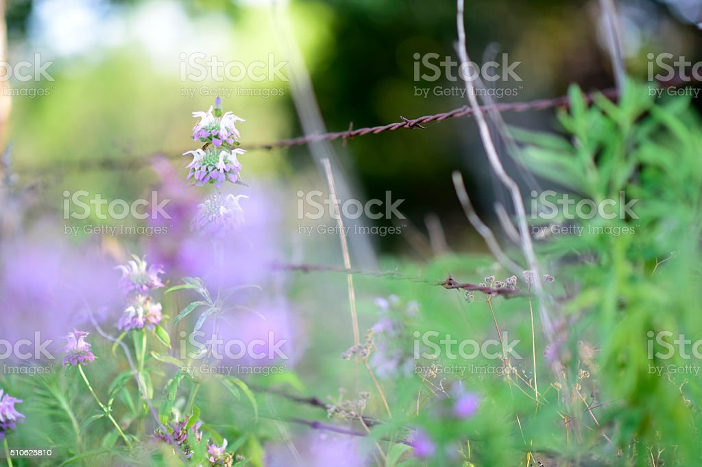 Wildflowers and barbed wire stock photo
