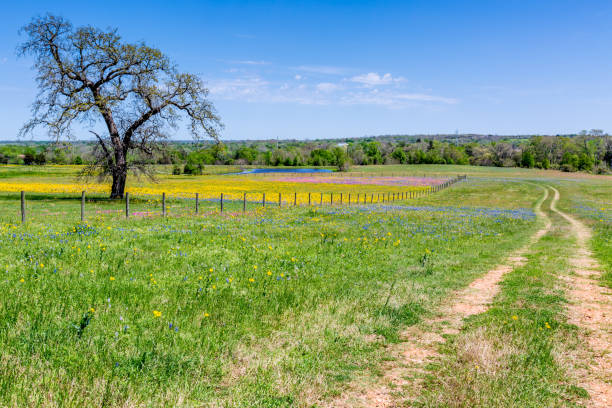 Wildflowers and Dirt Road Old Texas Country Dirt Road Next to a Field of Colorful Wildflowers ranch stock pictures, royalty-free photos & images