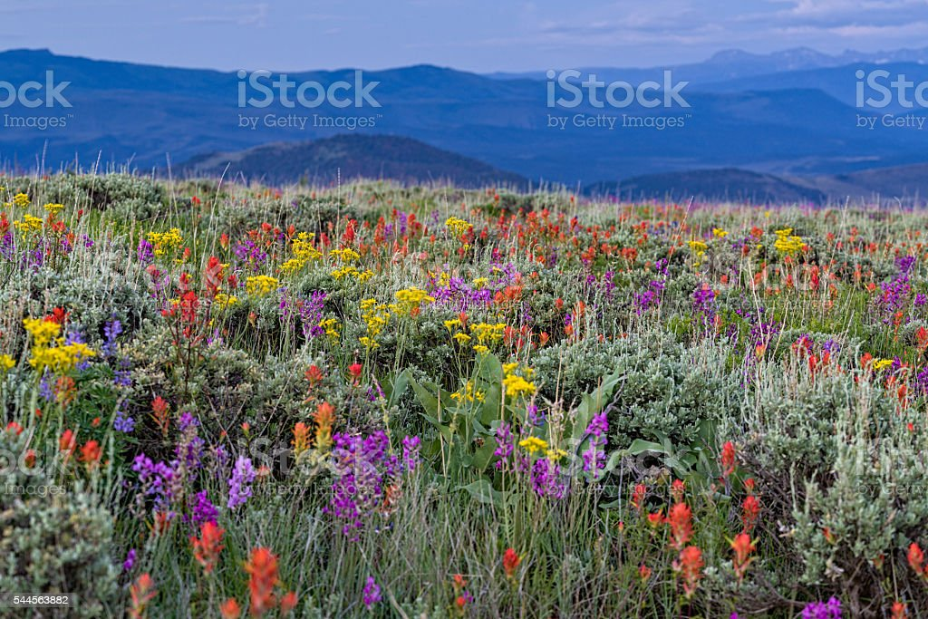 Wildflowers and Mountains in Colorado stock photo