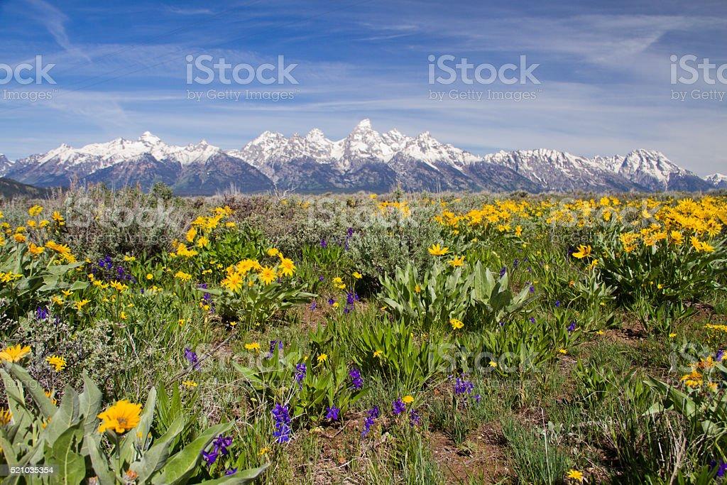 Wildflowers and Tetons stock photo