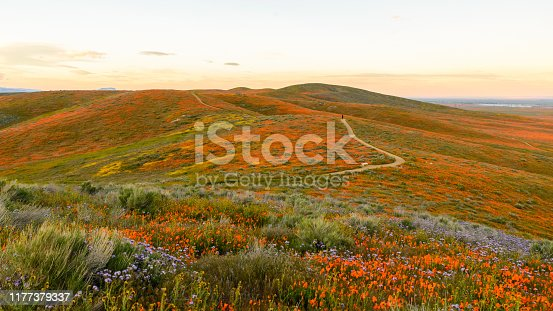 Wildflowers at Antelope Valley California Poppy Reserve super bloom 2019